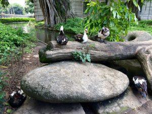 Il y a des canards à l'entrée du parc, j'adore
